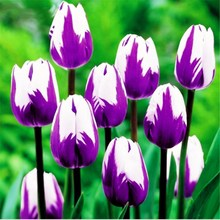 100pcs/bag bonsai purple tulip flower Garden tulip potted plants perennial indoor flowers for home garden planting стоимость