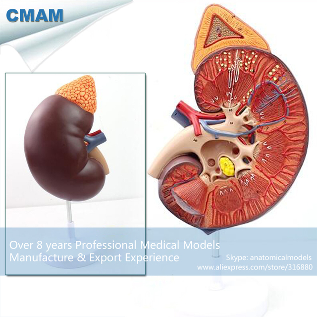 12430 CMAM KIDNEY01 Enlarge Medical Science Human Body Organe ...