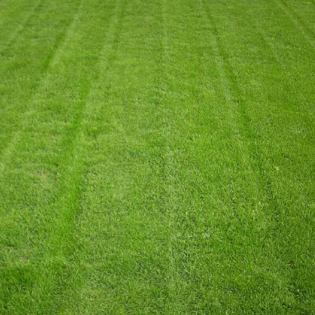 Buy evergreen lawn japanese zoysia grass for Tall oriental grass