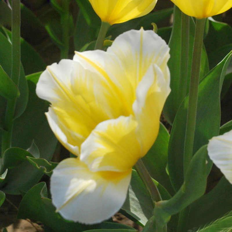 Vendita Calda Rare 2 pz/lotto Lampadina, Blu Tulipani Fiori di Tulipano Bonsai Piante Da Fiore Per La Casa Giardino