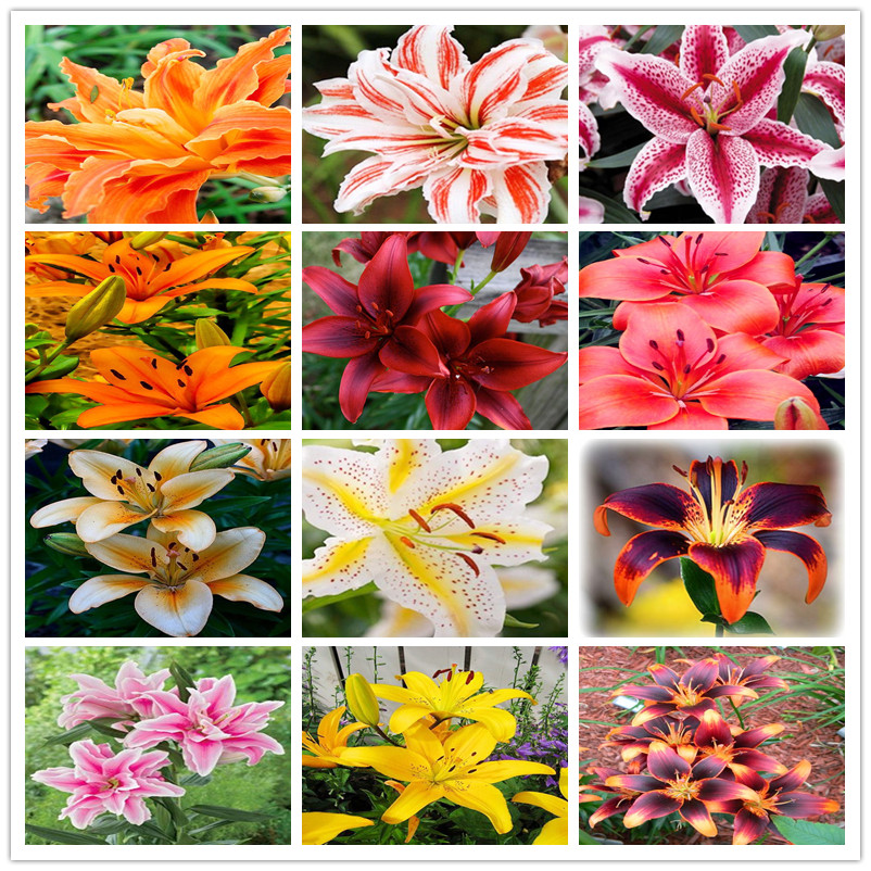 Multi Varieties Cheap Perfume Lilies Seeds Lily Seeds 100pcs Pack