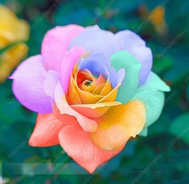 100 Pcs Rare Mul-color Rose bonsai Amazingly Beautiful Black Roses Red Edge flowers plants Garden Decoration