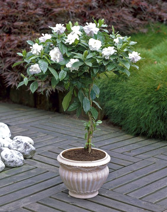 2pcs/Bonsai Gardenia Jasminoides Flower Outdoor Fragrant Flowers White Cape Bulb Flore For Home Pot Planters