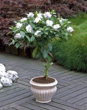 2pcs/Bonsai Gardenia Jasminoides Flower Outdoor Fragrant Flowers White Cape  Bulb Flore for Home Pot Planters