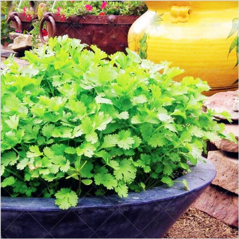 top 10 largest spice importers coriander list and get free