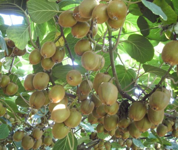 aliexpress  buy thailand mini kiwi fruit bonsai plants, Beautiful flower