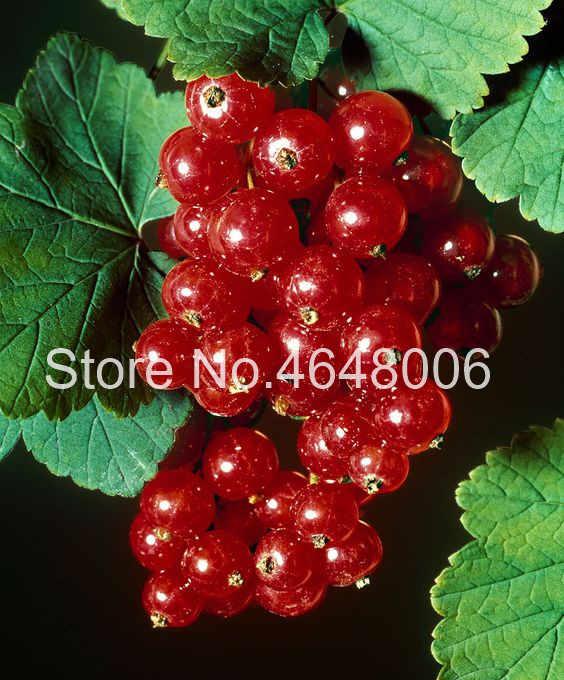 200 ชิ้นหวานอร่อย Physalis Juicy Gooseberry Bonsai, Golden Berry บอนไซจีน Latern สวน Currant ผลไม้ Semiilas De
