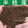 Herb Seed Flower Seeds And Banzhilian Quality Grass Seed Head Han Grass Seed Toothbrush 200g Pack