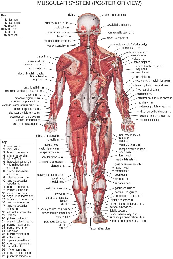 DIY frame Human Anatomy Muscles System art posters and print home ...