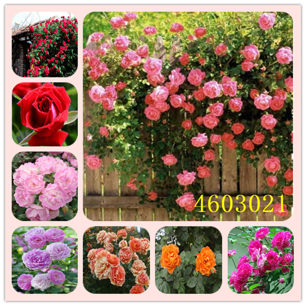 100 Pcs Mixed Climbing Rose Plants Perennial Pink Red White Yellow Roses Flowers Fragrant  TypesClimbing Plants For Home Garden
