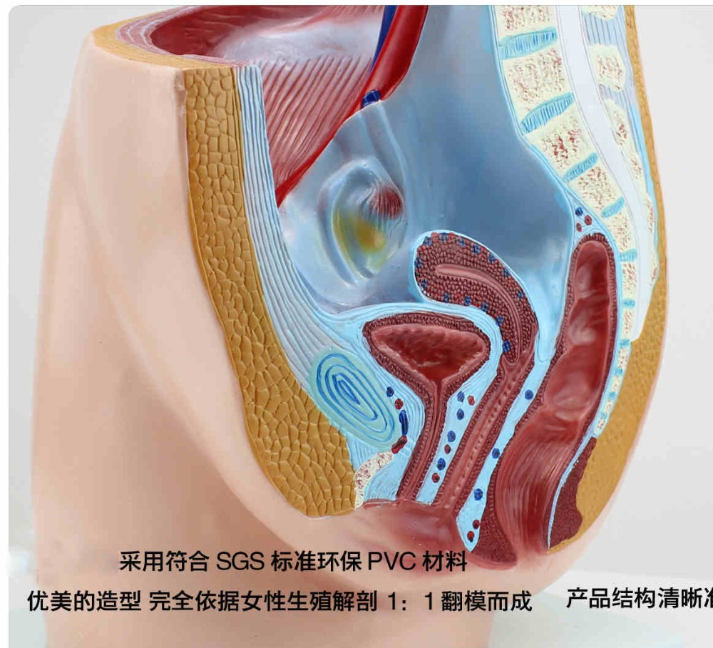 Female pelvic sagittal anatomy genitourinary system family planning health guidance