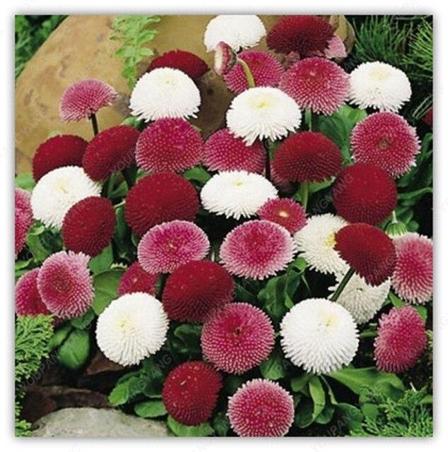 100 بذور/حقيبة الإنجليزية ديزي النباتات بيليس الخالدة نادر بونساي زهرة أقحوان النباتات للمنزل حديقة في الهواء الطلق مصنع الزهور