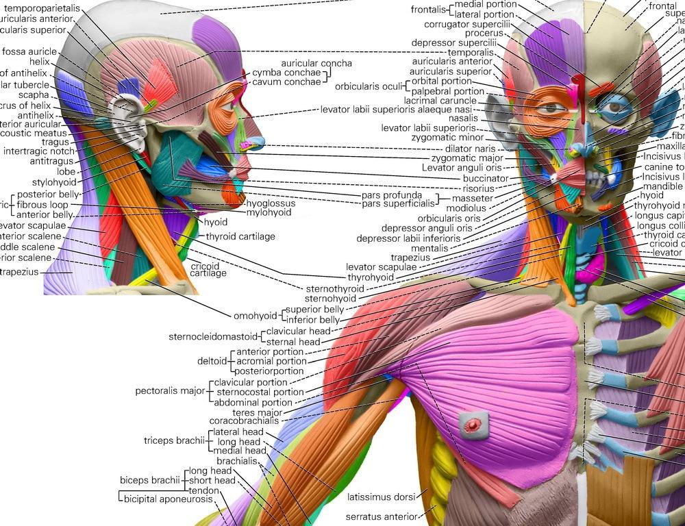 Giant Human Anatomical Chart 64\