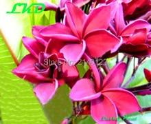 7 to15inch Rooted Plumeria Plant Thailand Rare Real Frangipani Plants no110-hwa-koa