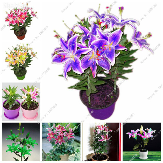 Pots Planters Lily Flower Seeds Indoor Flowers Decor For The Garden House  Plants And Flowers Beautiful