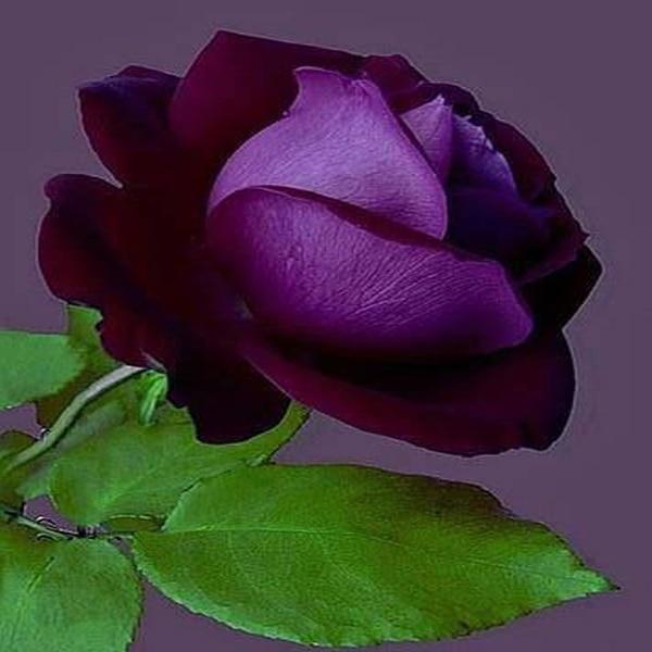 Rare purple rose seeds flower seeds garden balcony patio scarce bonsai potted plants 120PCS