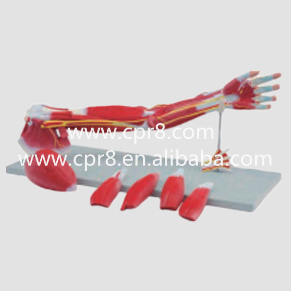 BIX-A1033 Upper Limbs Anatomical Model, Muscle Anatomy Model, Upper Limbs Model, Anatomy Muscle WBW057 gastric anatomy model bix a1045 g149