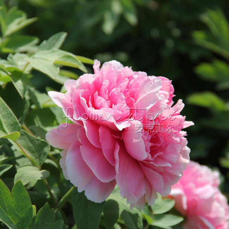 Pink Peonies Promotion-Shop For Promotional Pink Peonies