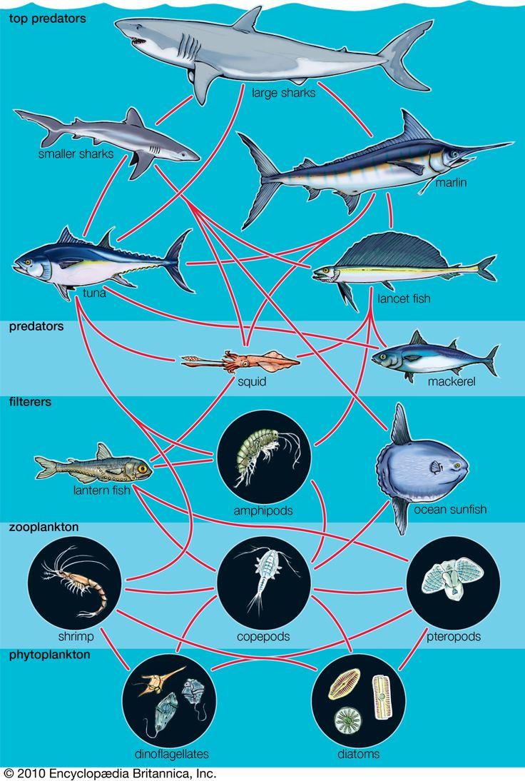 Bottom chain food marine — 6