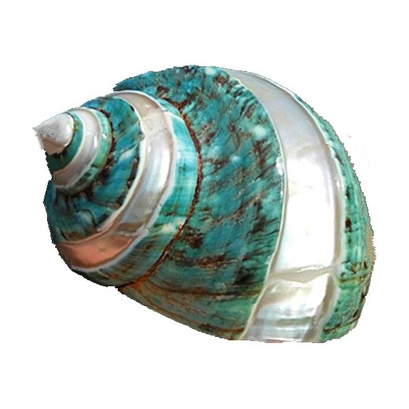 Natural 12cm Sea Beach Abalone Shell Conch Craft Aquarium DIY Home Decoration