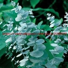 25+seeds/pack SEEDS EUCALYPTUS CINEREA SILVER DOLLAR PERENNIAL SEEDS / AROMATIC