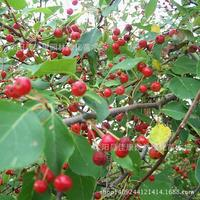 Tree bonsai collected authentic mountain Choji plant baccata baccata Lin Jingzi real shot sub 200g / Pack