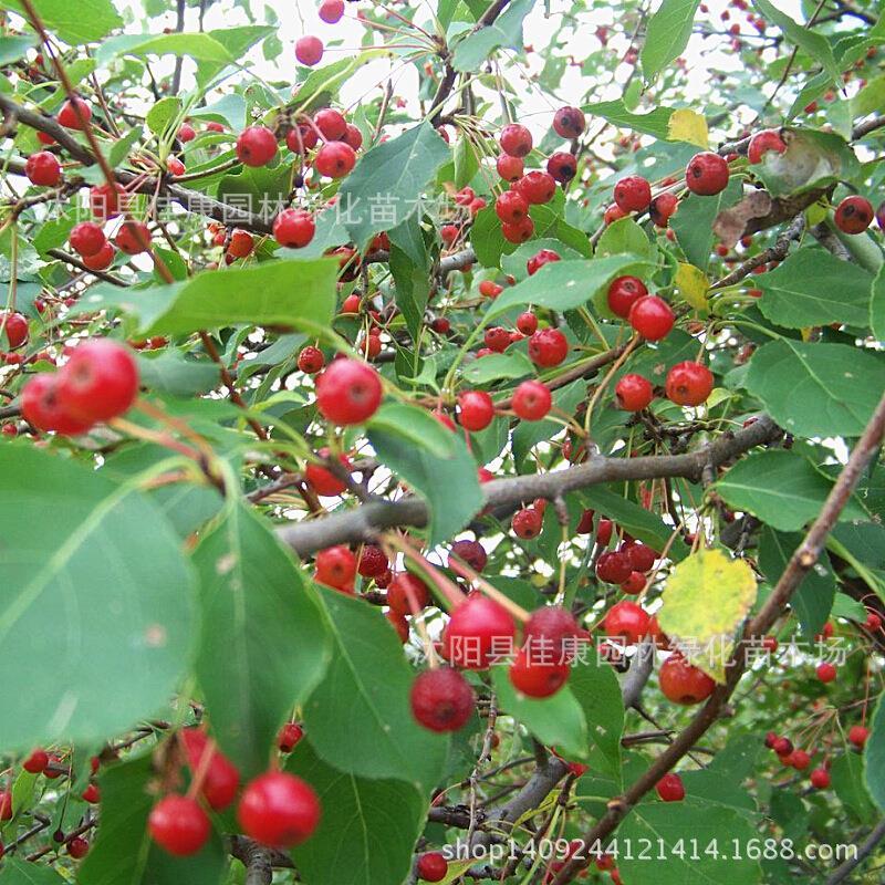 Arbre bonsaï collecté authentique montagne Choji plante showed ata tingata Lin Jingzi tir réel sous 200 g/paquet