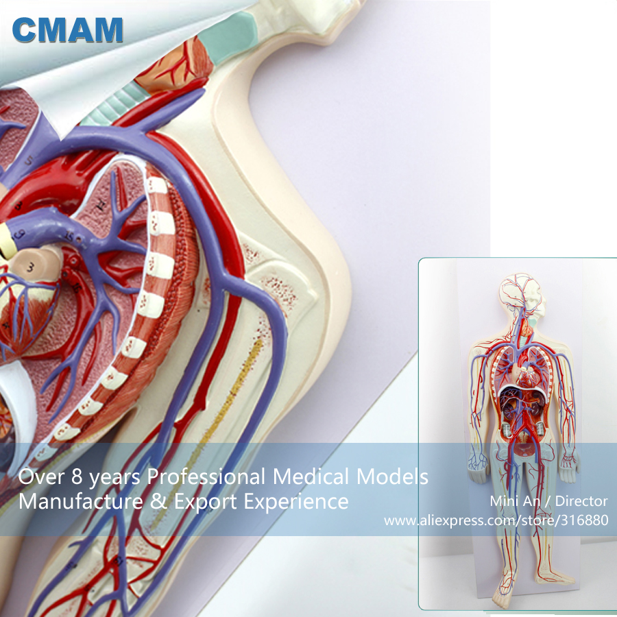 12488 CMAM-HEART12 Human Blood Circulatory System Education Model with 2-parts Heart cmam nasal01 section anatomy human nasal cavity model in 3 parts medical science educational teaching anatomical models