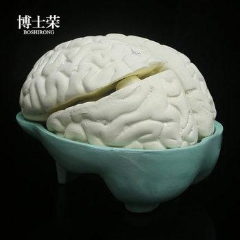 Биологическое оборудование, Обучающие аппараты, модель рассечения мозга, натуральный размер, медицинская сборка структуры мозга