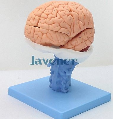 Life Size Human Anatomical Brain Anatomy Medical Model High Quality 4d anatomical human brain model anatomy medical teaching tool toy statues sculptures medical school use 7 2 6 10cm