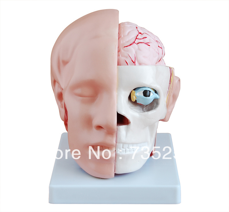 Head with Brain Anatomy Model,The Head Anatomical Model iso median section of head model anatomical head model