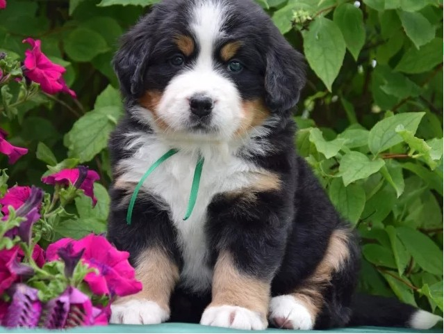 new-arrival-Diamond-painting-embroidery-Puppy-Bernese-Mountain-Dog-crystal-beads-5d-cross-stitch-kits-handwork.jpg_640x640 (6)