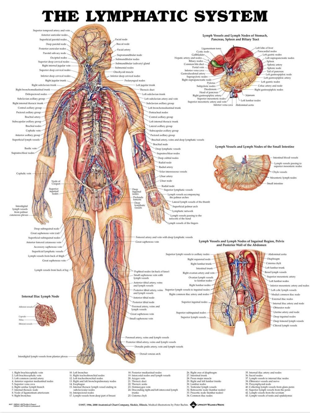 Großartig Muskeln Des Körpers Anatomie Zeitgenössisch - Menschliche ...