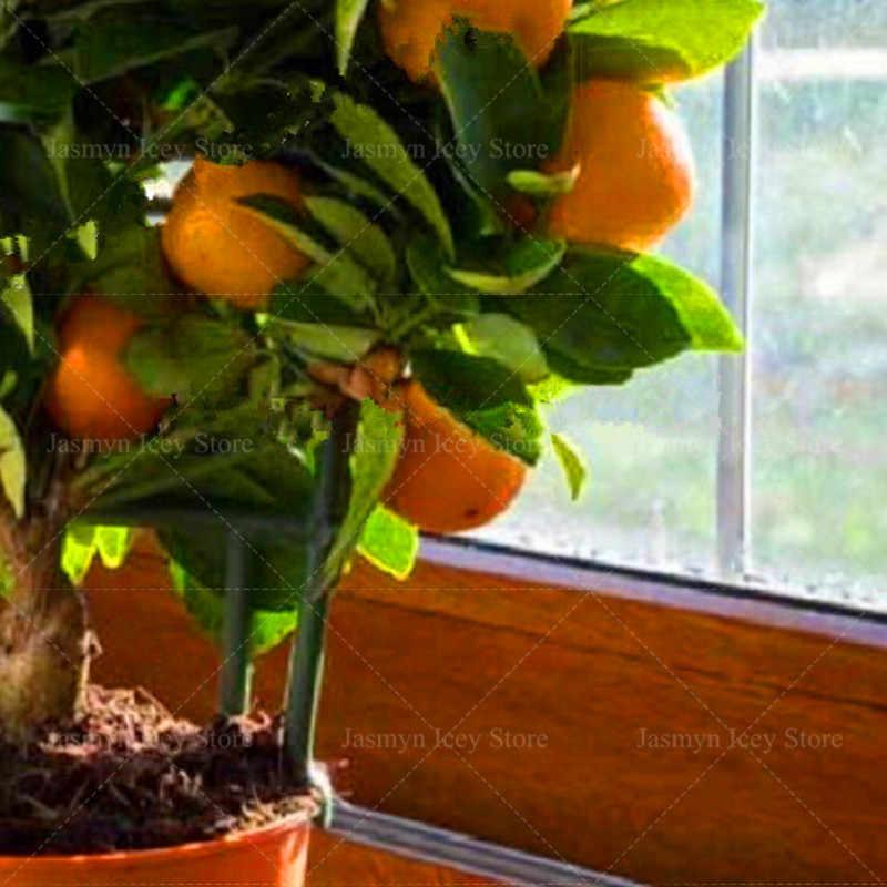 10 قطعة/الوحدة الحمضيات العصارة بونساي النباتات Sementes نادر الصالحة للأكل الفاكهة شجرة البرتقال شجرة بوعاء زراعة للمنزل حديقة