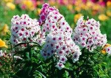 Bonsai phlox Seeds 200pcs multi-Colored Flower Seeds Novel Plant for DIY Garden Free Shipping