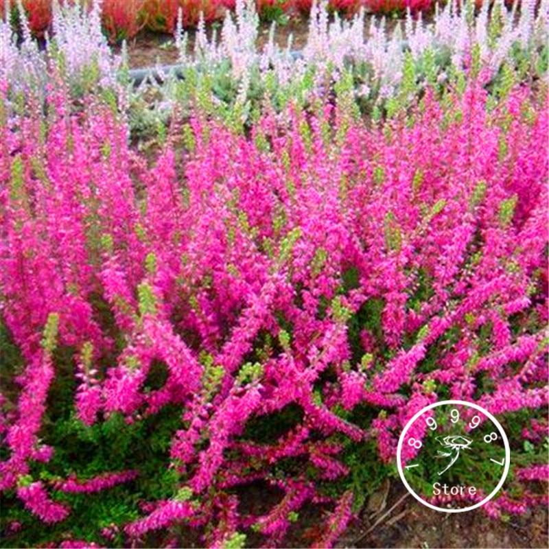 Шт./упак. 100 Новое поступление! Scotch Heather Groundcover растения (Calluna Vulgaris) легко вырасти DIY Цветы для дома, сада карликовые деревья
