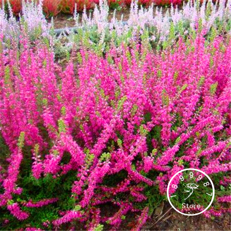 100 Pcs/Pack New Arrival!Scotch Heather Groundcover Plants (Calluna Vulgaris) Easy To Grow DIY Home Garden Flower Bonsai
