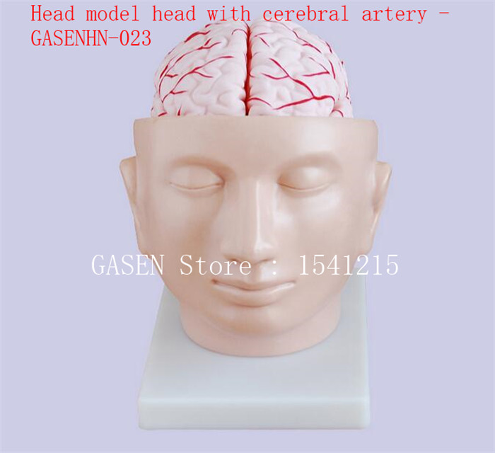 Intracranial brain structure Cerebral anatomy teaching Medical teaching aids Head model head with cerebral artery - GASENHN-023 ben buchanan brain structure and circuitry in body dysmorphic disorder