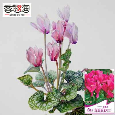 1 Original Pack 5 Seeds Cyclamen Perennial Indoor Plants flower