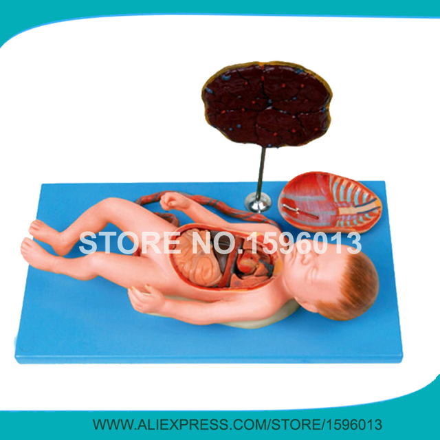 Aliexpress.com : Buy Anatomical Fetus model with Viscus, Placenta ...