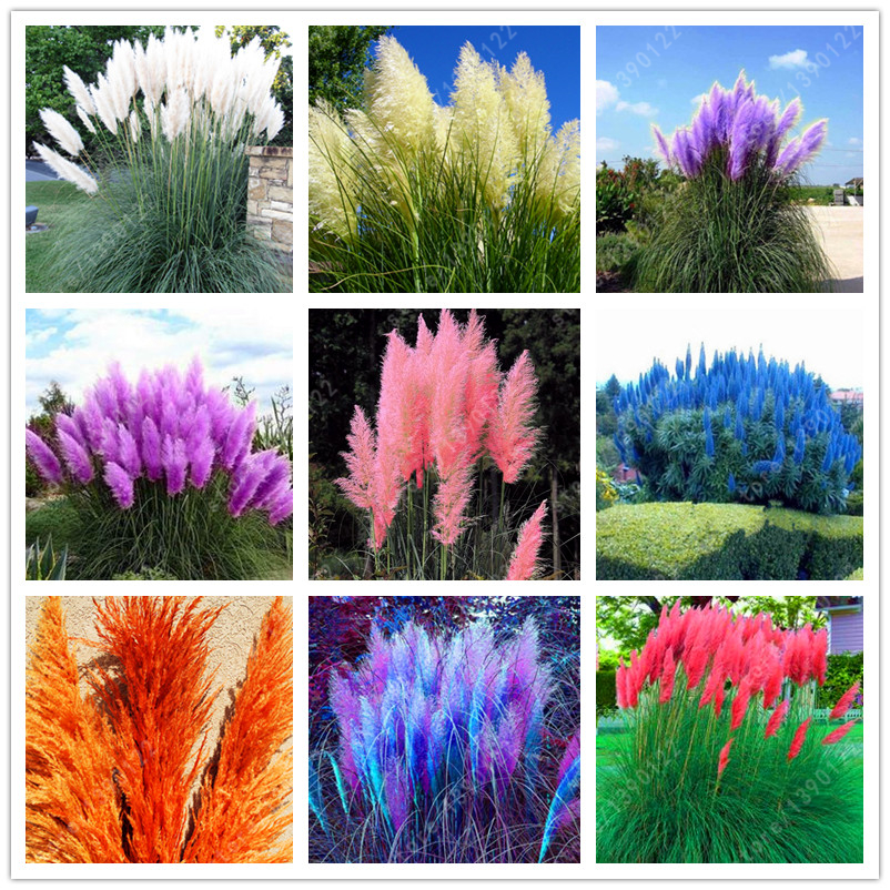 1200 PCS/package PAMPAS GRASS seeds , rare reed flower seeds for home garden planting Selloana Seeds Garden decoration DIY!
