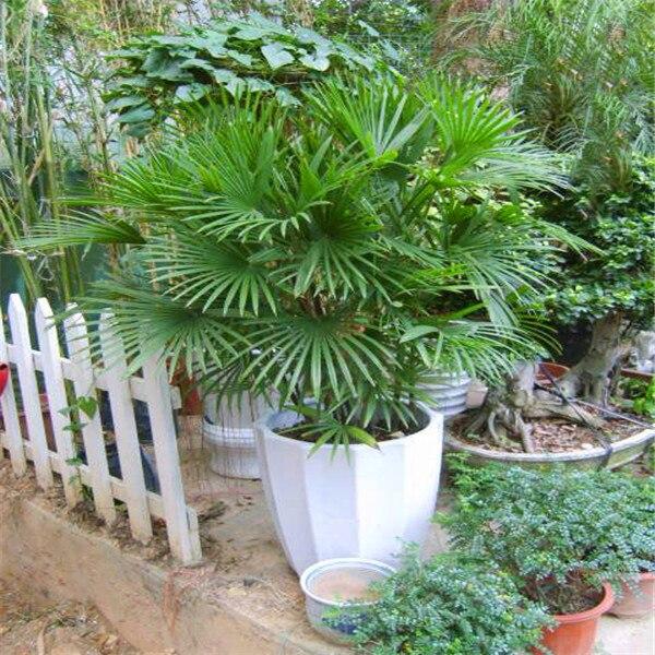 A Pack 5 Pcs Palm Bamboo Seeds Balcony Patio Garden Potted Bonsai Plant Farm