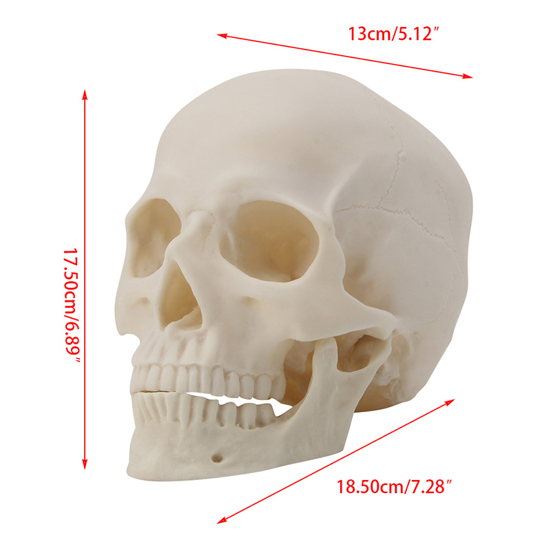 Medical Props Model Free Shipping Realistic 1:1 Adult Size Human Skull Replica Resin Art Teaching Model Medical