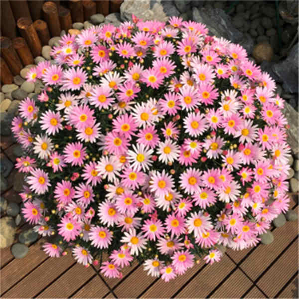Hot sale ! Gypsophila Daisy 100 / bag beautiful chrysanthemum bonsai flower natural plant home garden decoration free shipping