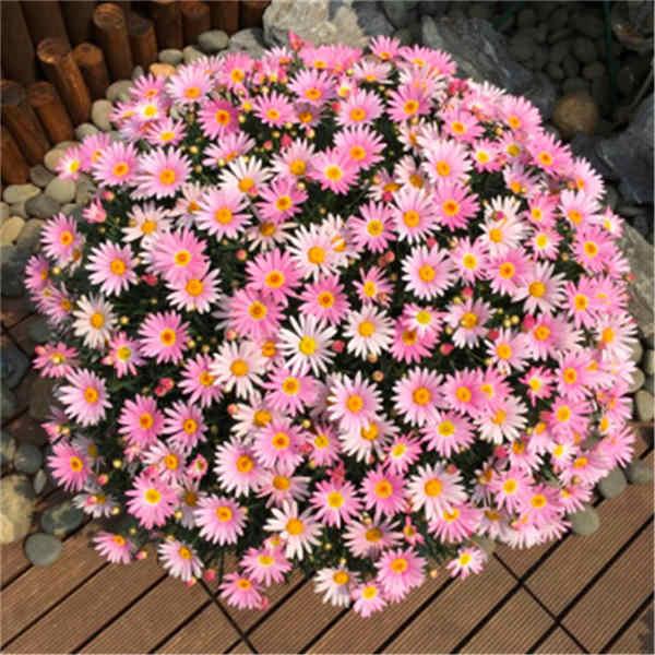 Vendita calda! Gypsophila Margherita 100/bag bella crisantemo bonsai fiore pianta naturale giardino di casa della decorazione libera il trasporto