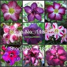 Free Shipping 10pcs Adenium Obesum Seeds MIX – Bonsai Desert Rose Flower Plant Seeds