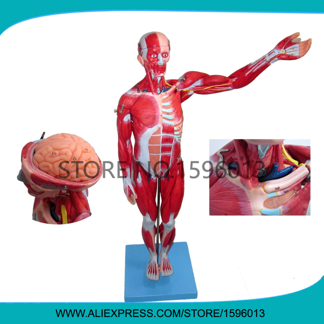 Vivid 78CM Full Body Muscles Model with internal Organs 27 parts ...