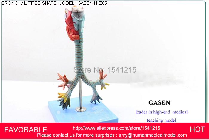 ANATOMICAL MODEL, HUMAN ANATOMICAL THROAT BRONCHI ANATOMY MEDICAL MODEL,LARYNX MODEL THE BRONCHIAL TREE MODEL-GASEN-HX005 skin block model 26 points displayed human skin anatomical model skin model