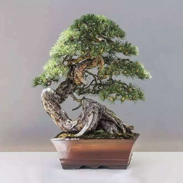 office bonsai tree. Perfect Office 20 Juniper Bonsai Tree Seeds Potted Flowers Office Purify The Air  Absorb Harmful Gases And Office Bonsai Tree