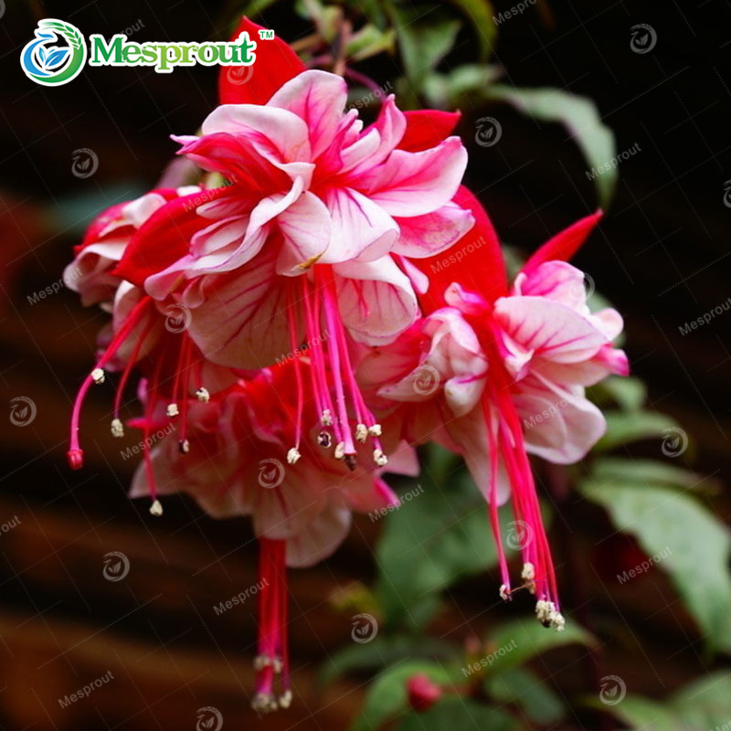 Multicolor Fucsia Linterna Flor Balcon Interior Bonsais Semillas - Flores-interior